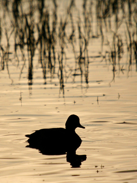 A green winged teal is silhouetted against a sunrise reflection