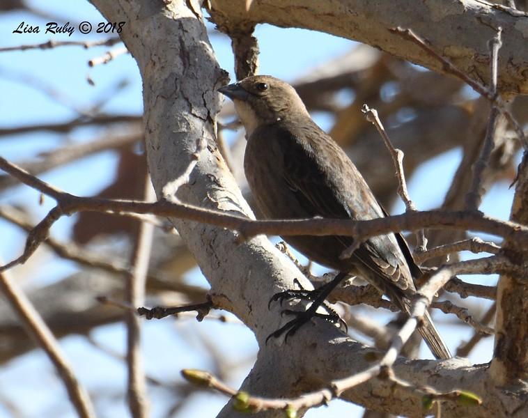Brown-headed Cowbird - 1/14/2018 - Lindo Lake