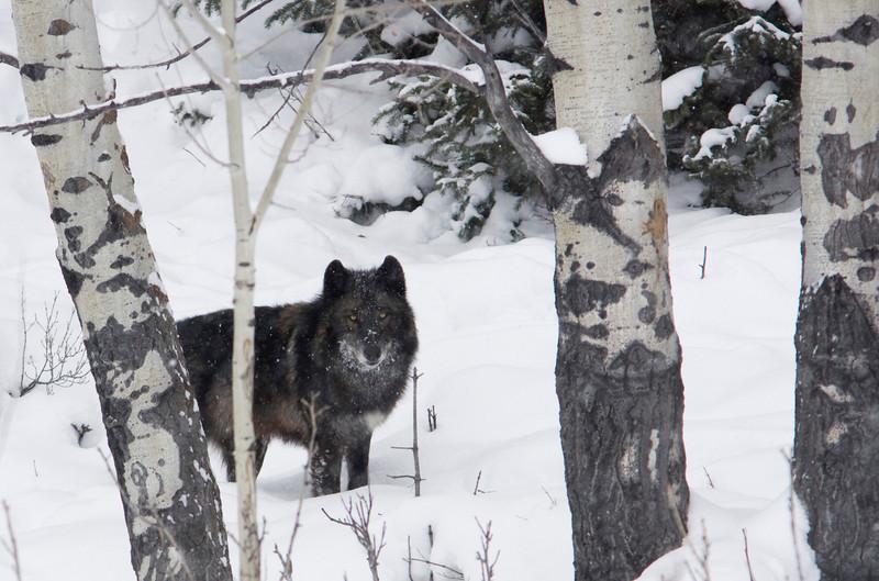 gray wolf001.jpg