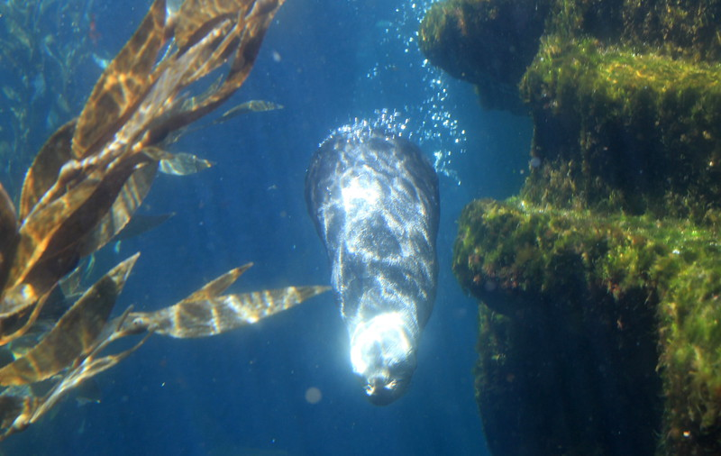 Sea otter feeding time...