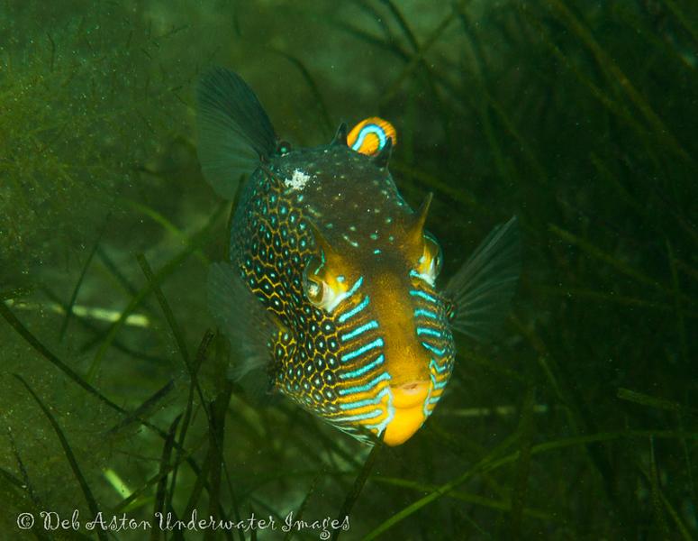 Cowfish (Aracana aurita)