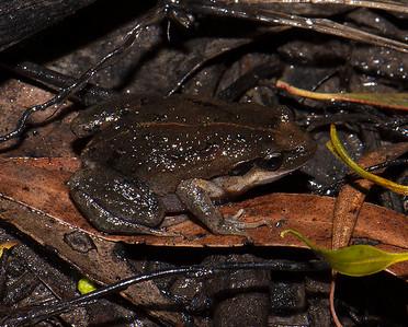 Paracrinia - Haswell's Froglet