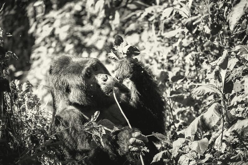 Uganda_T_Gor-1938.jpg
