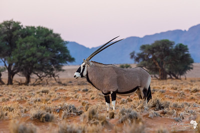 Dawn and an Oryx poses perfectly