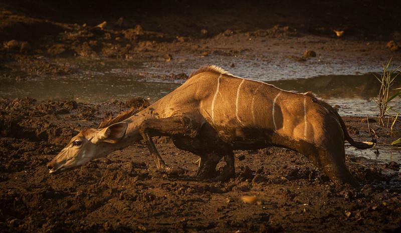 Kudu stuggle to escape 4