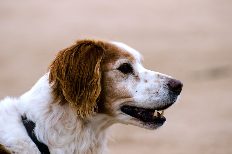 Our 13 year old Beauregarde, French Brittany