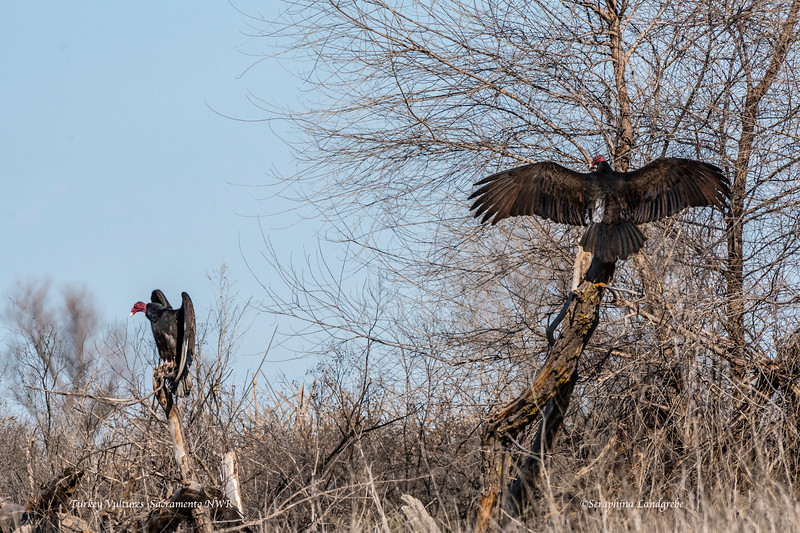 _DSC0243Two Turkey Vultures.jpg