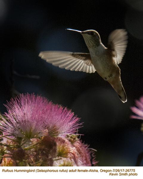 Rufous Hummingbird F26775.jpg