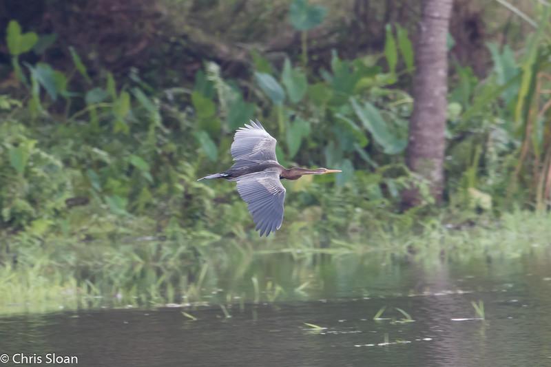 Oriental Darter at Soma Birds Lagoon, Kerala, India (03-04-2015) 070-36.jpg
