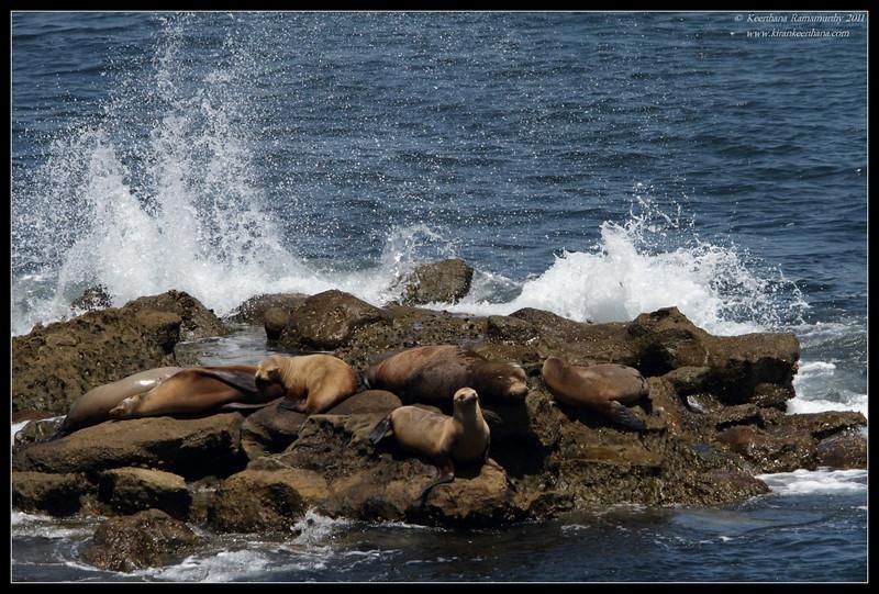 California Sea Lion basking in the sun, La Jolla Cove, San Diego County, California, June 2011