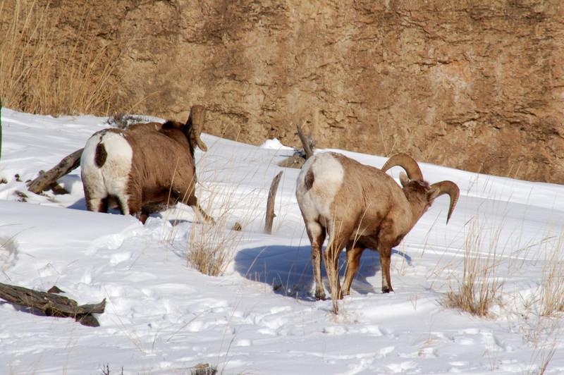 Big Horns in Yellowstone.jpg