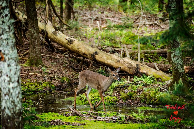 Deer in water.jpg