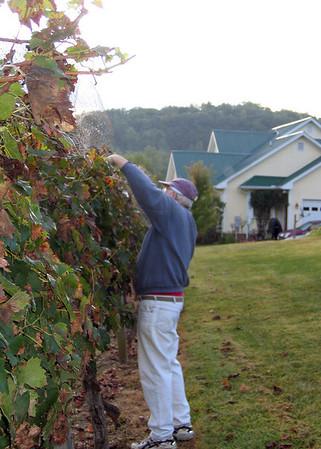 9/26/08 - Harvesting Crane Creek Vineyard, Young Harris, GA