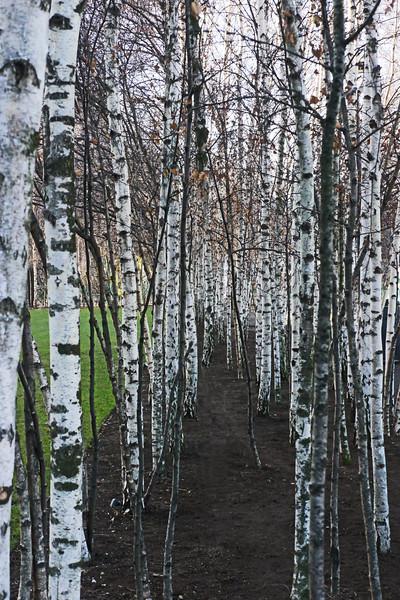 Silver Birch Trees~1381-1.