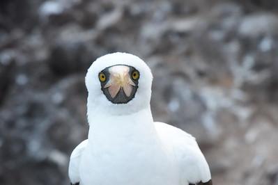 5-25-2018 Galapagos Gardner Bay & Suarez Point, Espanola Island
