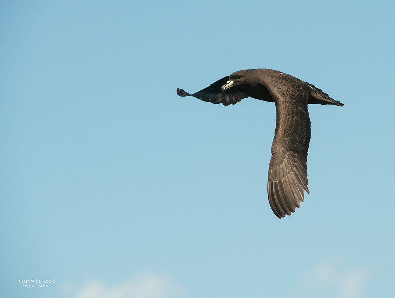 Black Petrel, Wollongong Pelagic, Nov 2013.jpg