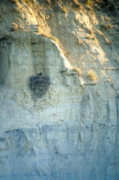 Golden Eagle nest Teddy Roosevelt National Park ND SLIDE SCAN BIRDS-32.jpg