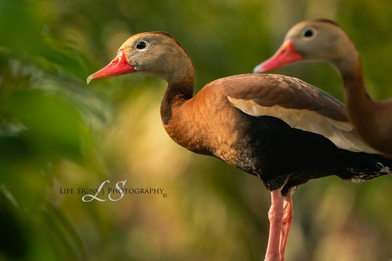 LS - Birds - Ducks on Deck-1.jpg