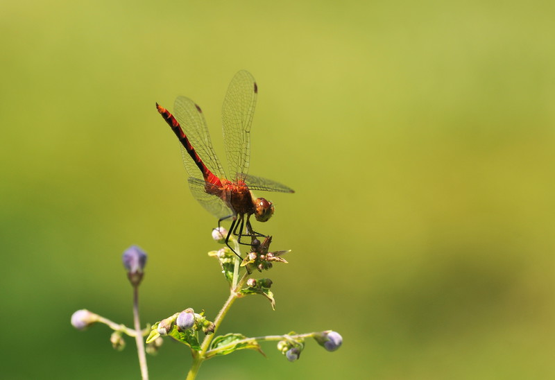 DSC_3981_meadowhawk_poised_lg.jpg