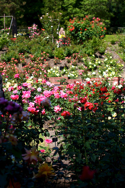 Portland International Rose Test Garden  2240.jpg