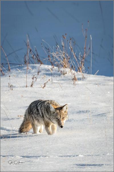 J85_1791 Coyote stalking LPNW.jpg