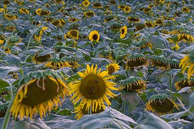 Sunflowers 2013