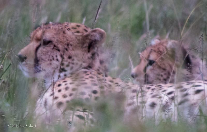 CheetahK-12.jpg