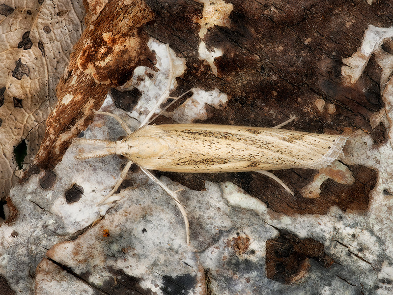Greater Sod Webworm Moth