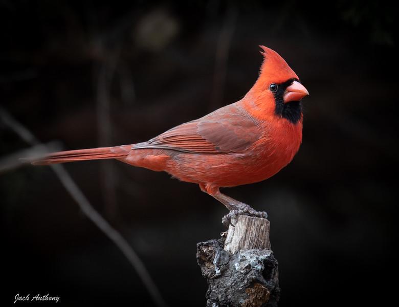 Northern Cardinal -Male