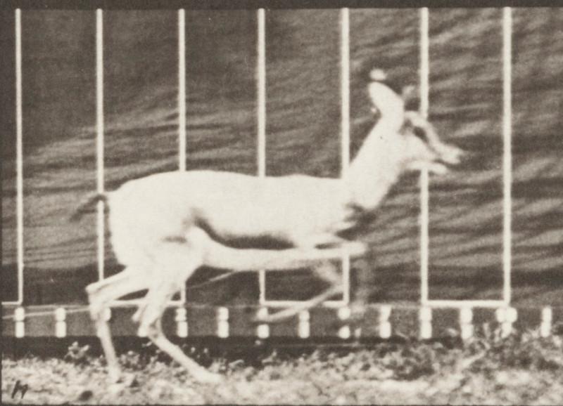 Antelope galloping