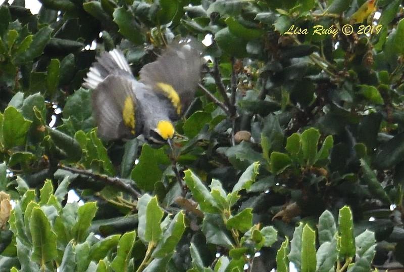 Golden-winged Warbler - 6/4/2019 - Presidio Park