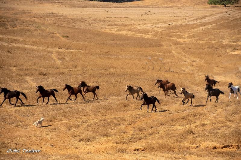 סוסי הפרא2.jpg