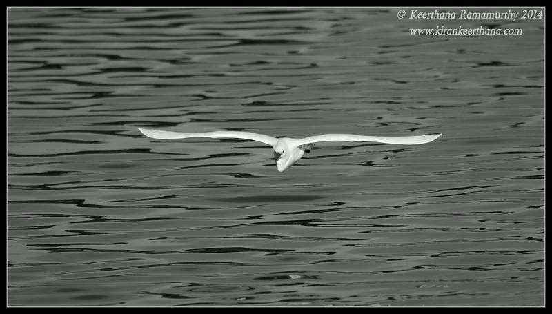 Snowy Egret in monochrome, Robb Field, San Diego River, San Diego County, California, February 2014