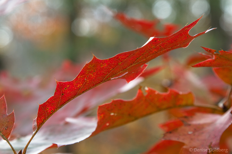 oak leaves in red