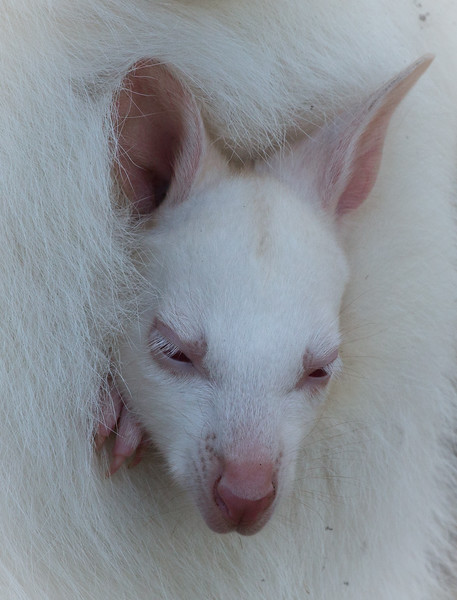 Albino tammar wallaby