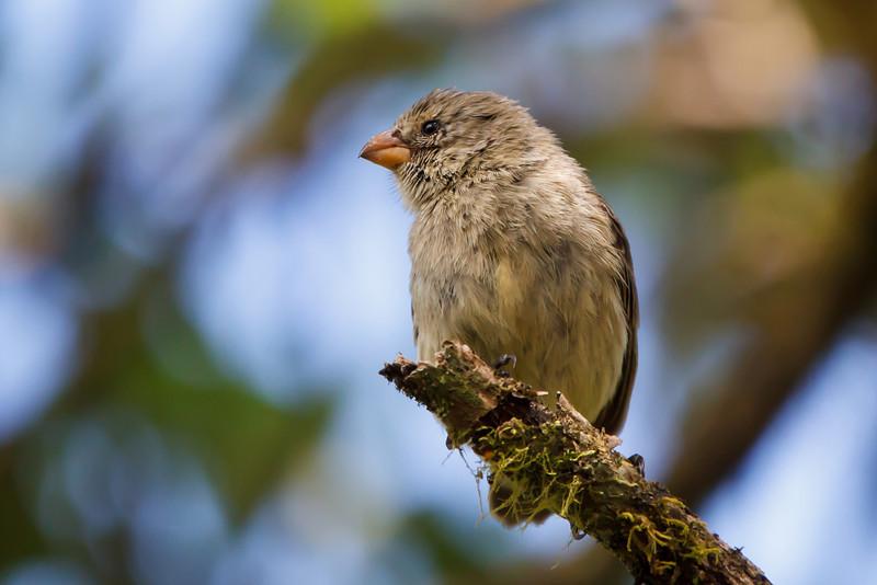 Small Tree-Finch female at Santa Cruz, Galapagos, Ecuador (11-20-2011) - 837.jpg