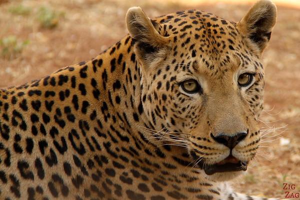 Leopard at Africat Okonjima, Namibia photo 1