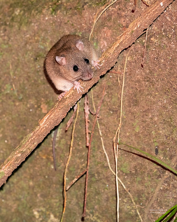 Fawn-footed Melomys (Melomys cervinipes)