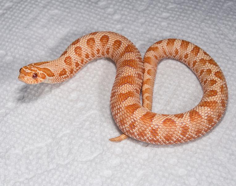 HG16_Albino Anaconda male, $175, Sold Dianna W.