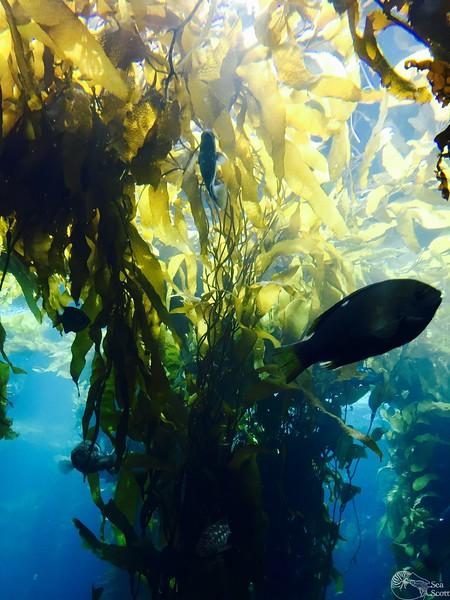 Kelp Magic