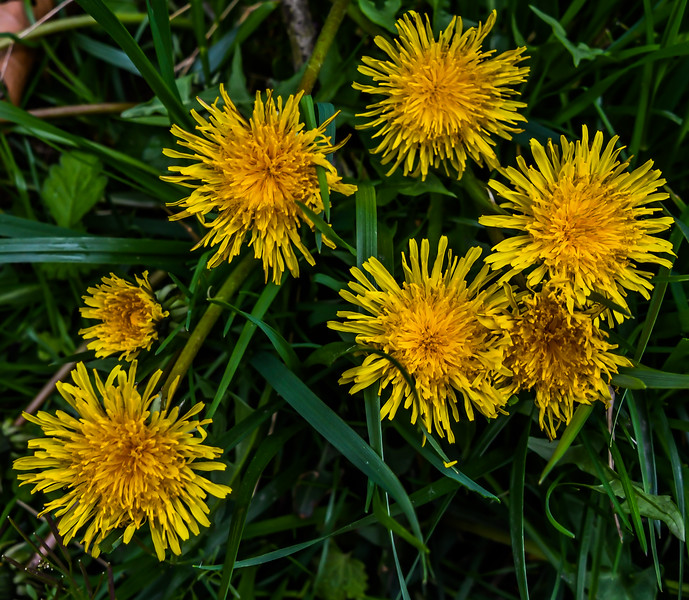 The First Dandelions of Spring