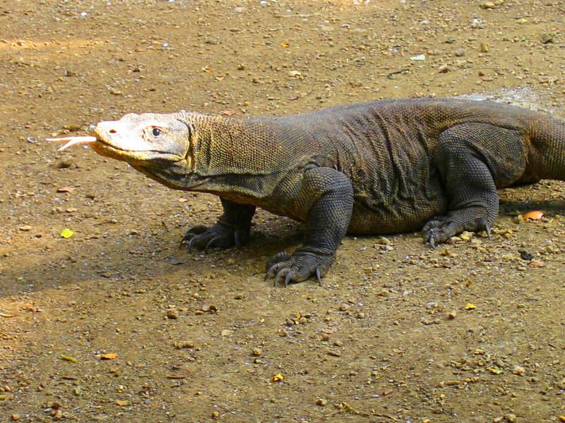 Komodo Dragon, Rinca Island