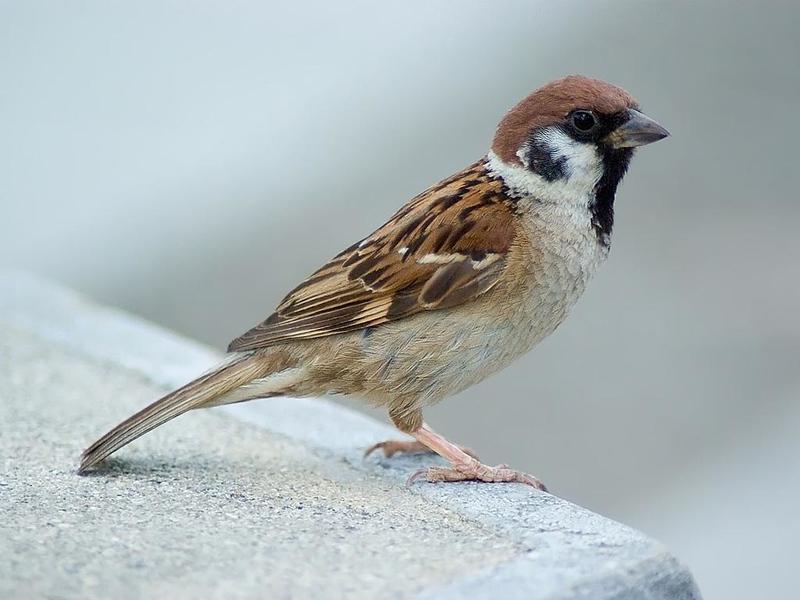 Sparrow,_Eurasian_Tree_Laitche.jpg