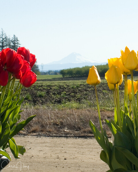 Mt Hood Tulips.jpg