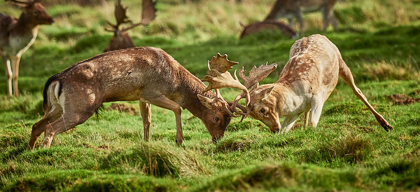 Fallow Deer = Petworth Park Oct 17