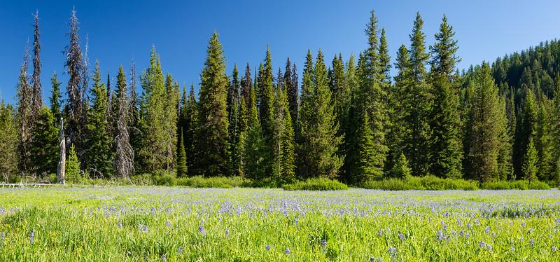 Camas Bloom--Lolo Pass