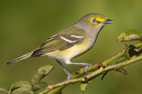 Shrikes, Vireos - All 9 species expected in Indiana have been photographed