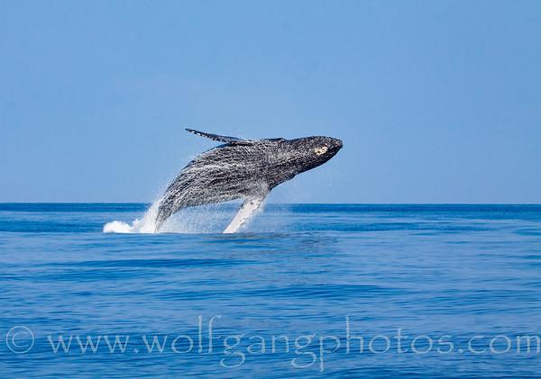 hiwhales