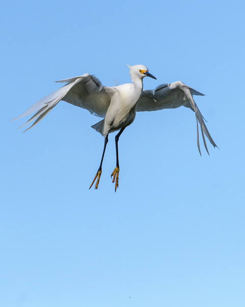 Snowy Egret - hovering