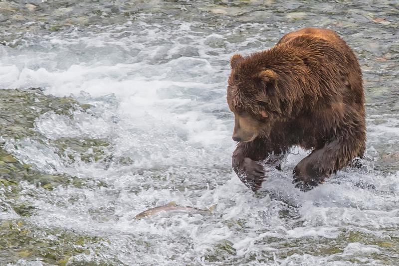 Alaska_2013_Grizzly_FH0T3430 (1).jpg